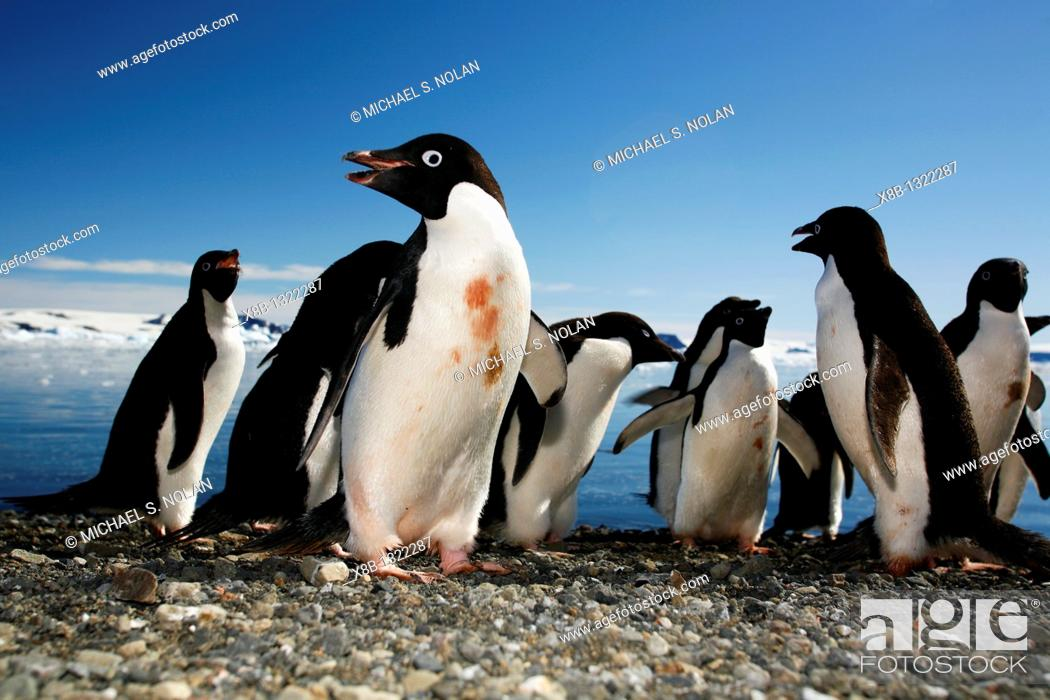 Stock Photo: Adelie penguins Pygoscelis adeliae marching down the beach and preparing to enter the ocean as a tight group for safety on Devil Island.