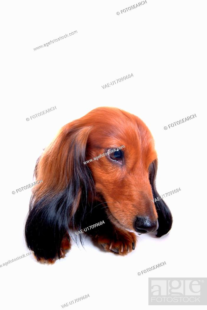 Imagen: canine, domestic animal, closeup, close up, looking away, dachshund.