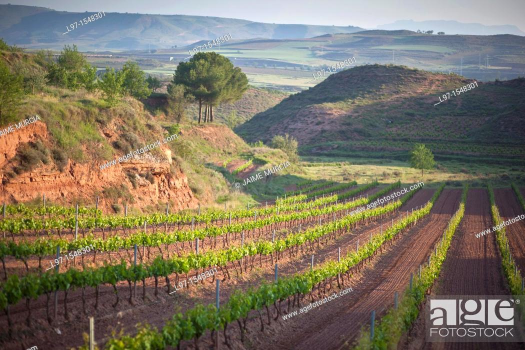 Stock Photo: Field of grape vines growing near Najera, La Rioja region, Spain.