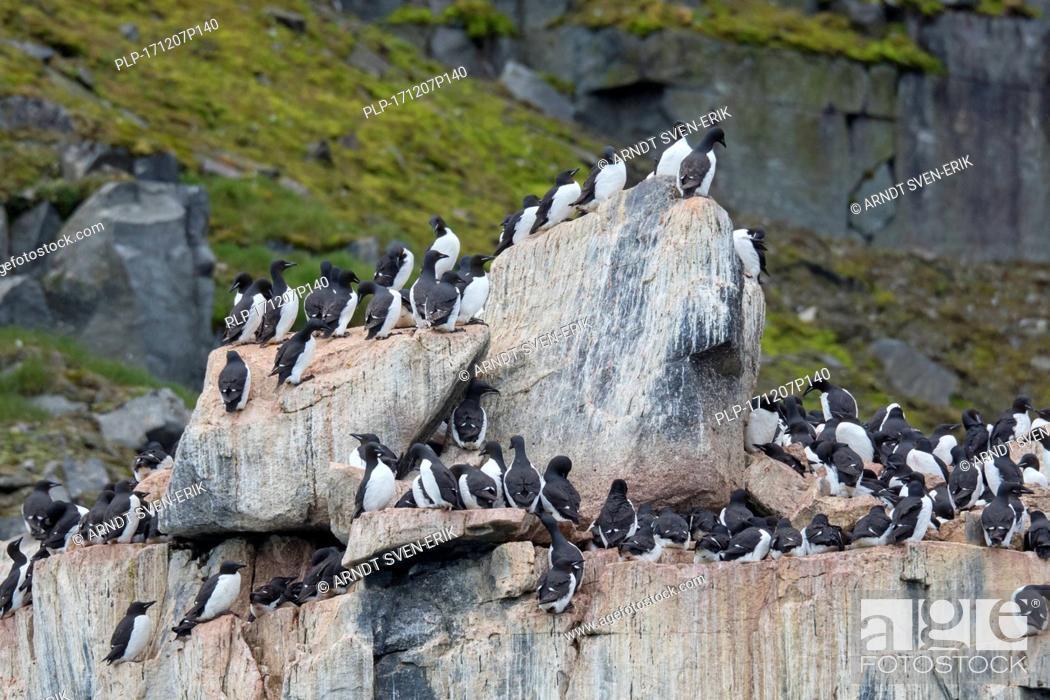 Stock Photo: Alkefjellet, sea cliff housing seabird colony of thick-billed murres / Brünnich's guillemots (Uria lomvia) at Hinlopenstretet, Svalbard, Norway.