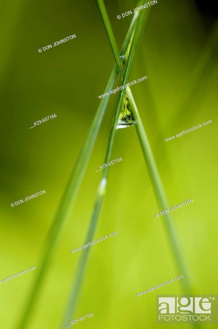 Stock Photo: Hair grass (Deschampsia spp.) stalks with raindrop.