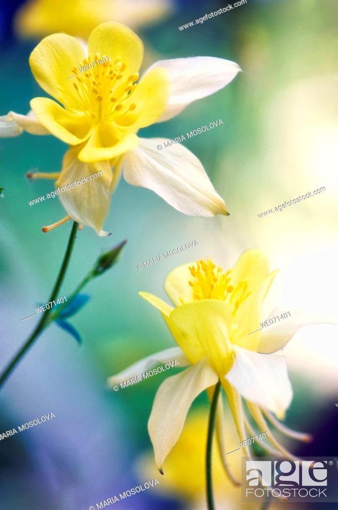 Stock Photo: Yellow Columbine Flowers. Aquilegia formosa. May 2007, Maryland, USA.
