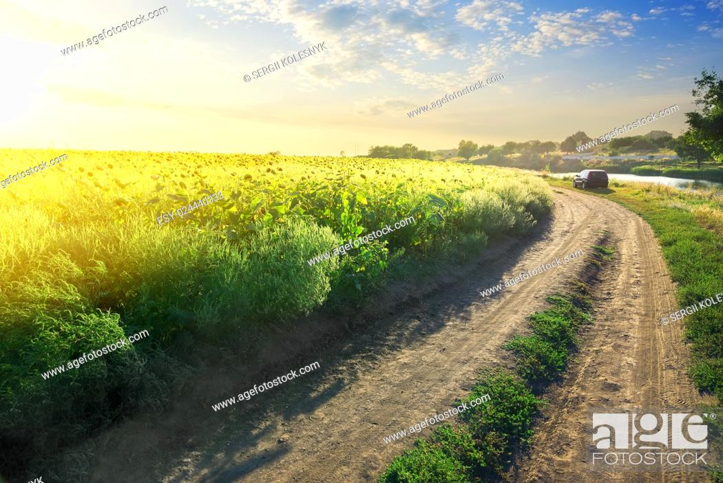 Stock Photo: Field of blooming sunflowers by the country road.