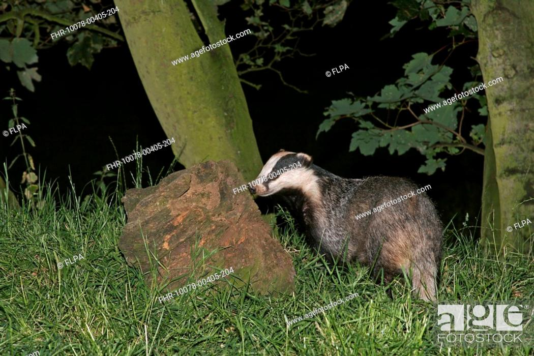 Stock Photo: Eurasian Badger Meles meles adult female, foraging for insect larvae in rotten tree stump, in woodland at night, Staffordshire, England, july.