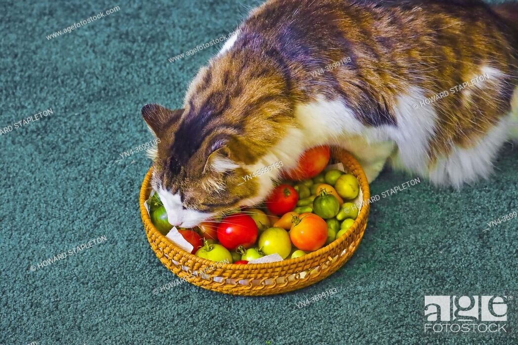 Photo de stock: Cat #2 sniffing tomatoes.