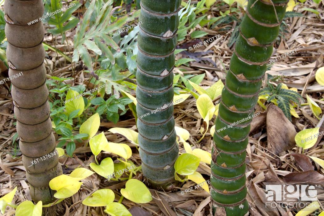 Stock Photo: Horizontal close-up of three bamboo stems, one brown and two green.