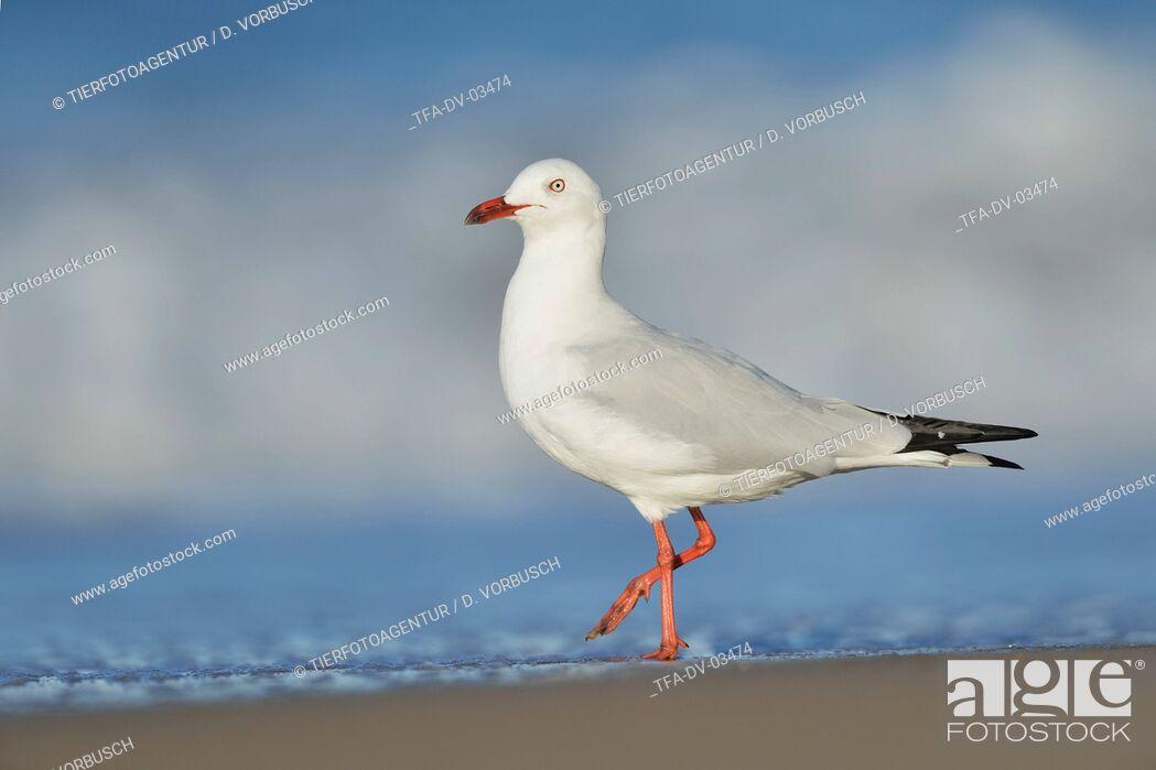 Imagen: silver gull.