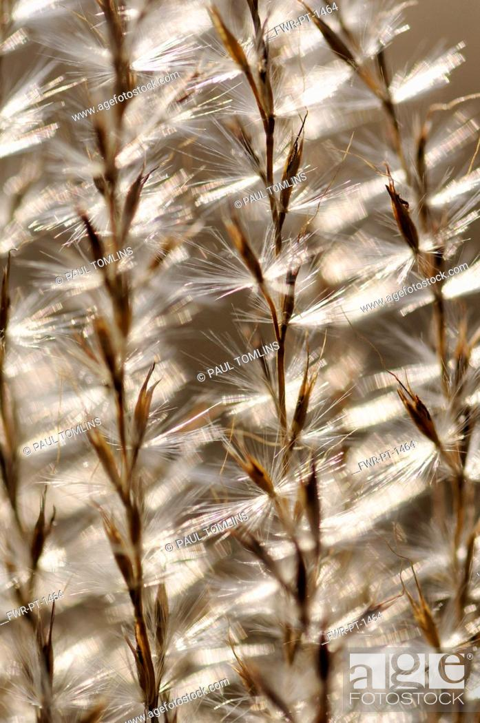 Imagen: Eulalia grass, Miscanthus sinensis 'Kleine Silberspinne', Close abstract pattern of fronds bearing fluffy seeds, backlit.
