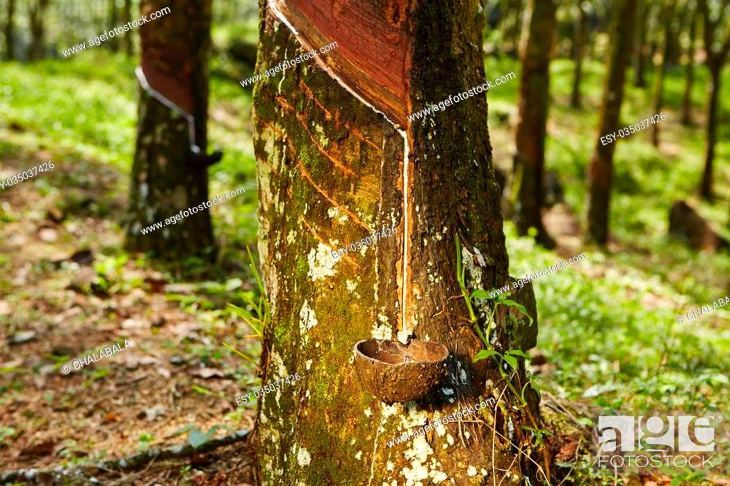 Stock Photo: Tapping sap from the rubber tree in Sri Lanka.