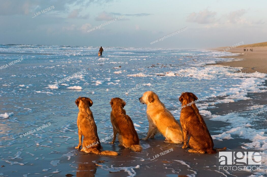 Stock Photo: Dogs on the North Sea beach of Denmark on a stormy Novemberday.