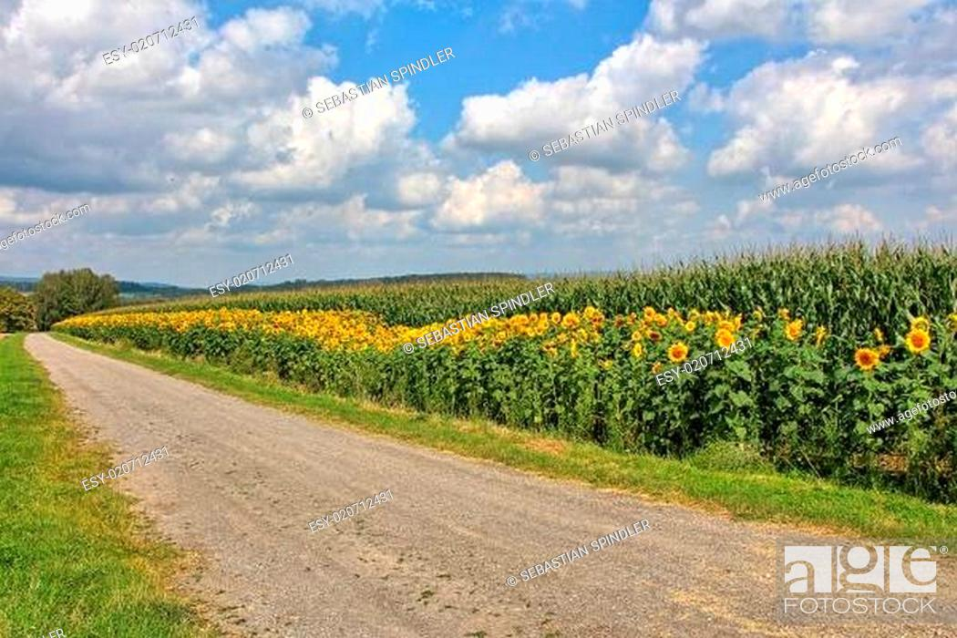 Stock Photo: Ein Feld mit Sonnenblumen.