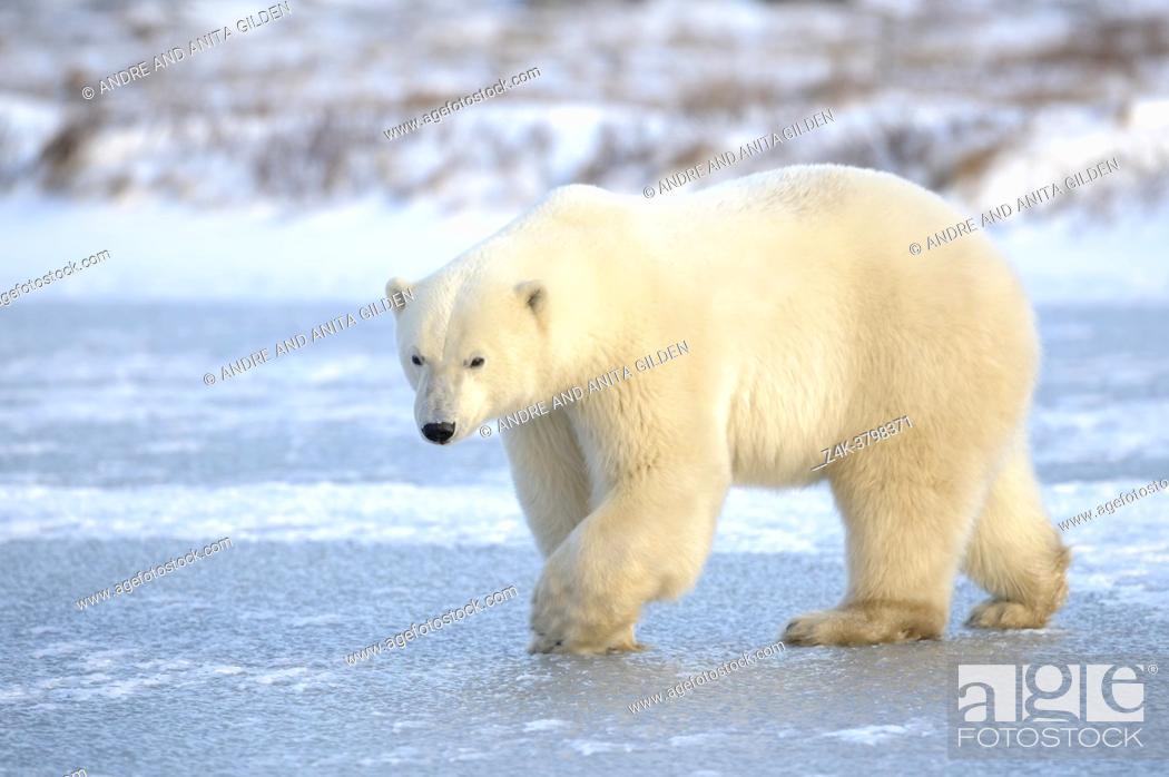 Imagen: Polar bear (Ursus maritimus) walking on blue ice, Churchill, Manitoba, Canada.