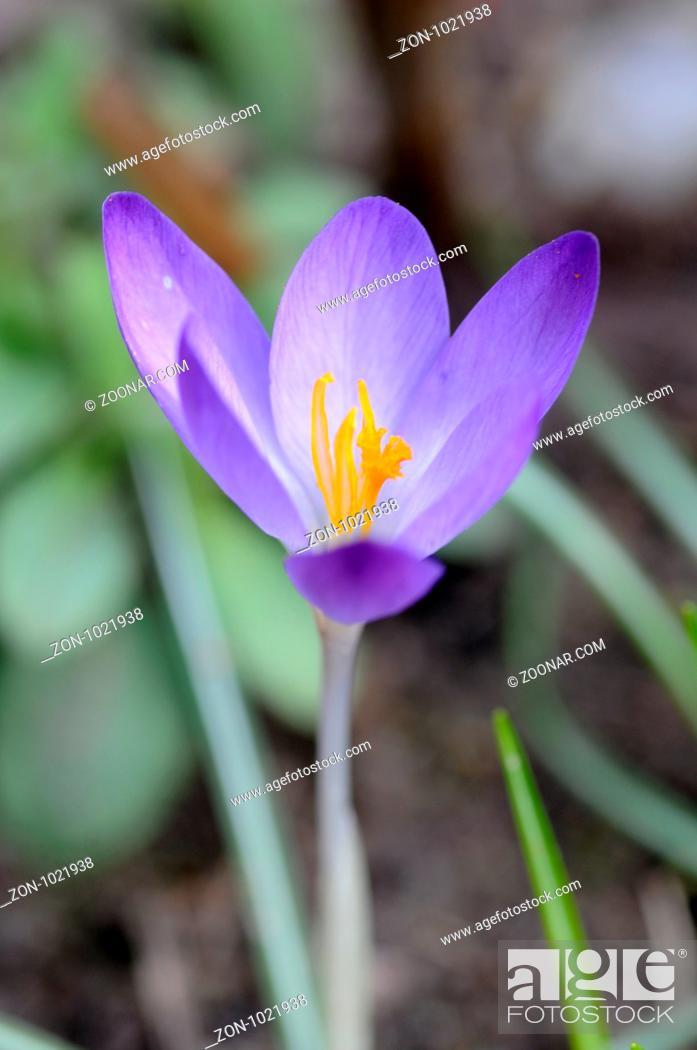 Stock Photo: Krokus, blume, blumen, crocus, winter, frühling, frühjahr, frühblüher, violett, lila, garten, gartenblume, natur.