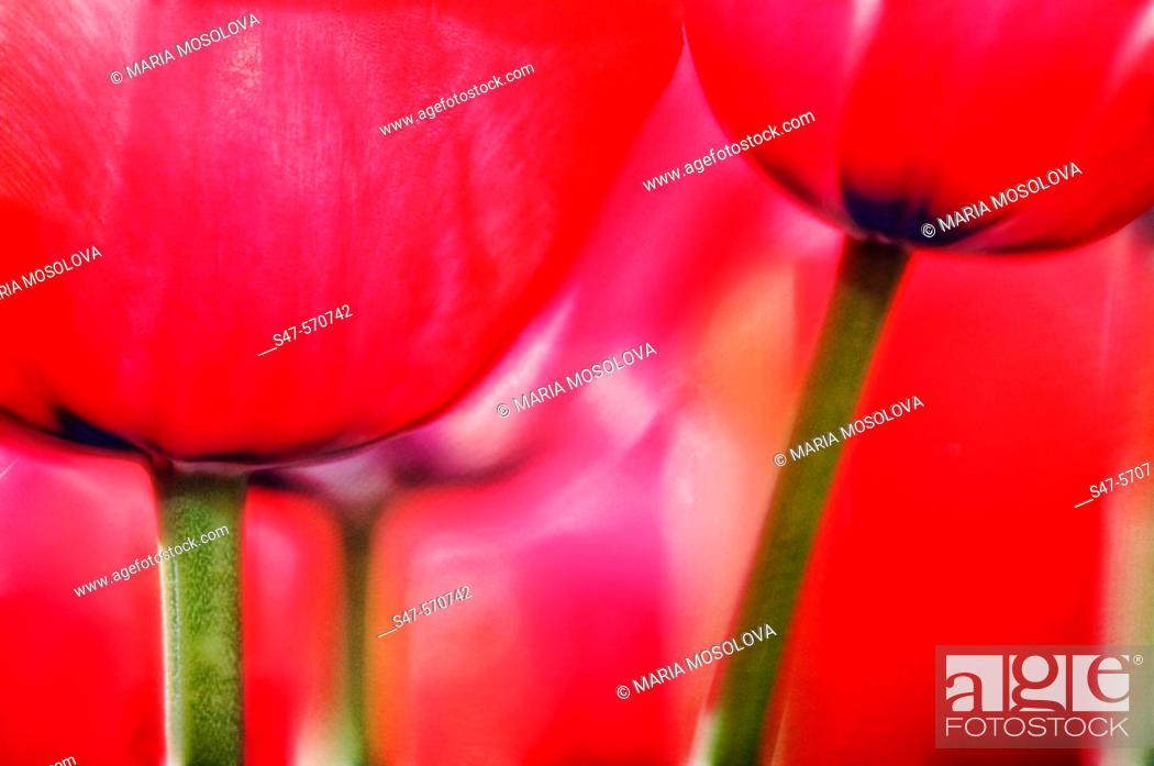 Stock Photo: Red Tulips close-up. Tulipa hybrid, April 2006. Maryland, USA.