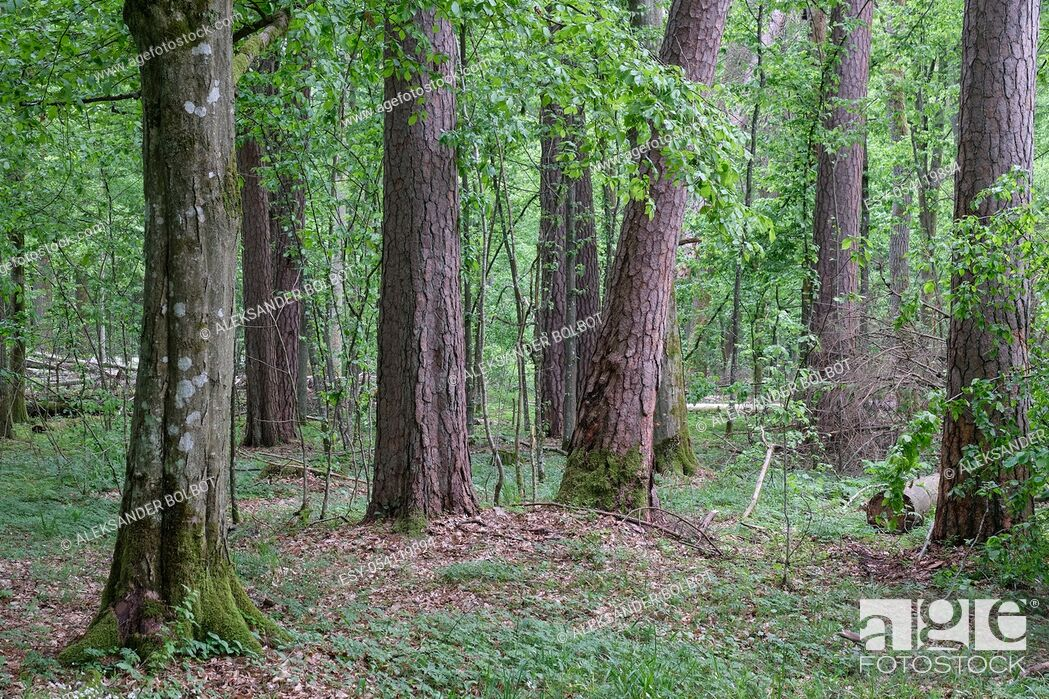 Stock Photo: Deciduous stand with hornbeams and old pine trees in springtime, Bialowieza Forest, Poland, Europe.