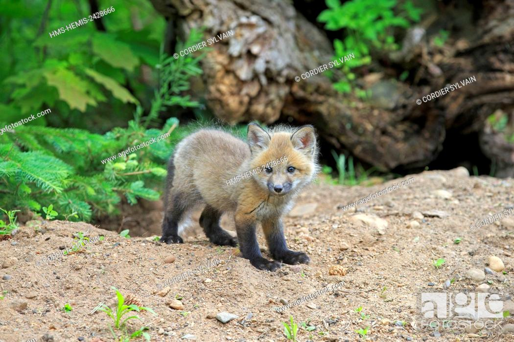 Stock Photo: United States, Minnesota, Red Fox (Vulpes vulpes), young.
