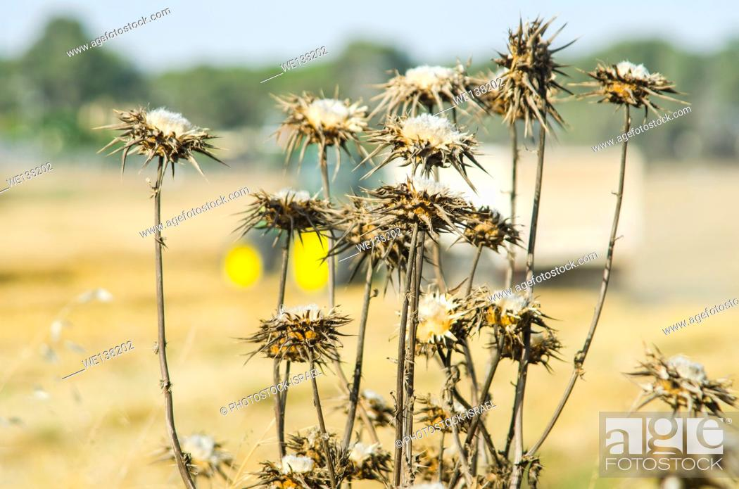 Stock Photo: dry Clustered Carline Thistle (Carlina curetum Syn. Carlina corymbosa).