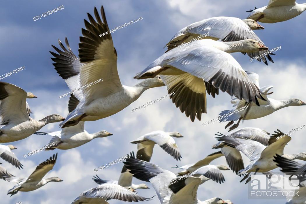 Stock Photo: Many Snow Close Up Geese Flying Skagit Valley Washington.