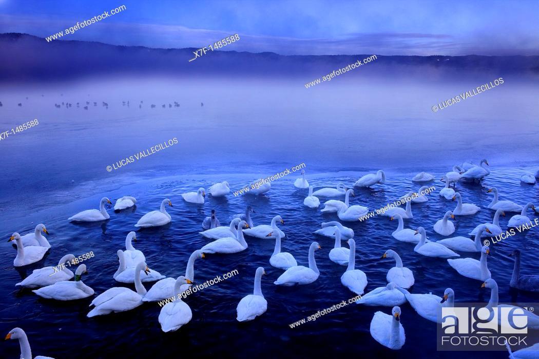 Stock Photo: Whopper Swans Cygnus cygnus in Lake Kussharo,Akan National Park,Hokkaido,Japan.