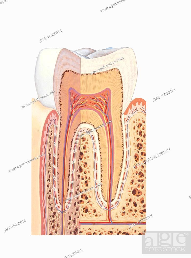 Medicine: Human anatomy, molar tooth, section. Drawing, Stock Photo ...
