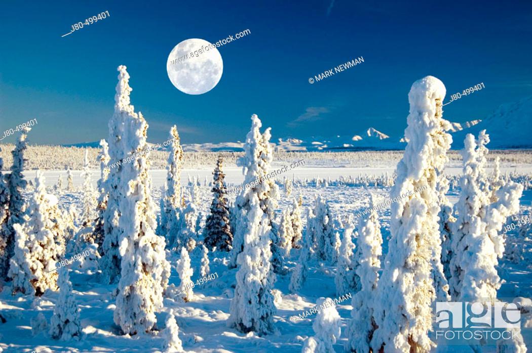 Stock Photo: Hoarfrost on trees, east of Matanuska Glacier, Alaska, USA.