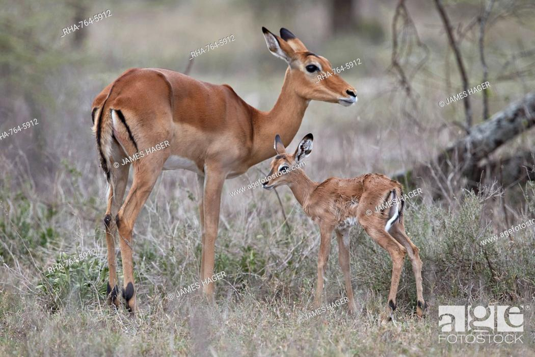 Imagen: Impala (Aepyceros melampus) doe and minutes-old calf, Ngorongoro Conservation Area, Tanzania, East Africa, Africa.