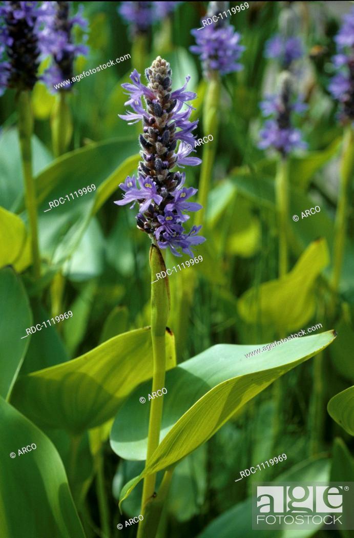 Stock Photo: Pickerel Weed, Pickerelweed (Pontederia cordata).