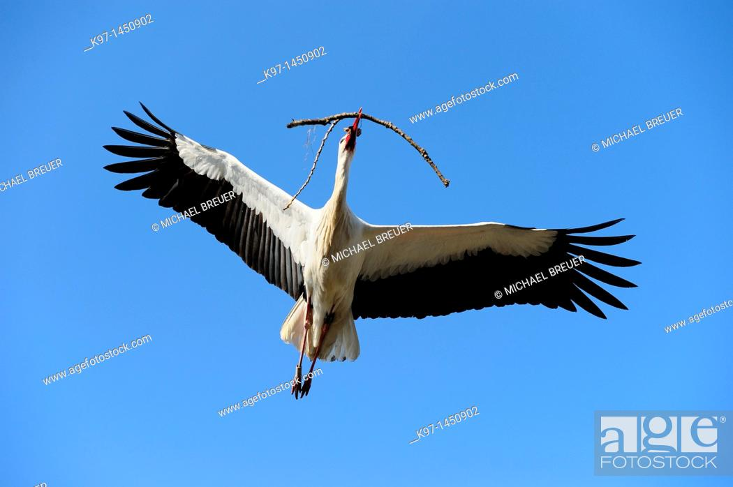 Stock Photo: Flying white stork with nest-material, Ciconia ciconia, Hesse, Germany.