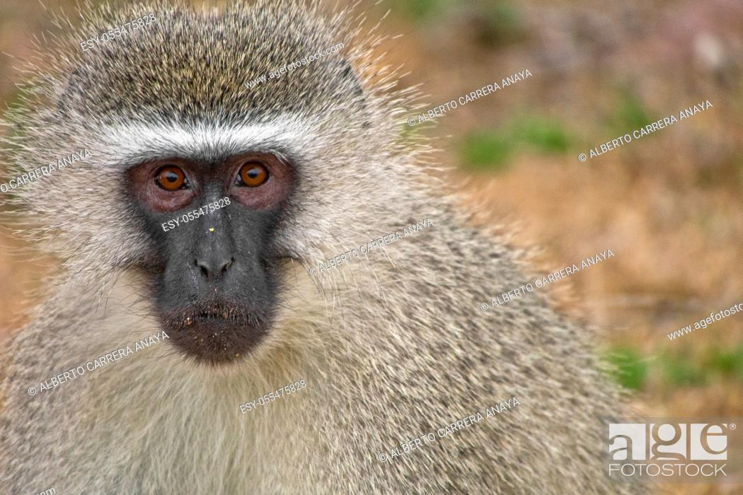 Imagen: Vervet Monkey, Cercopithecus aethiops, Kruger National Park, Mpumalanga, South Africa, Africa.