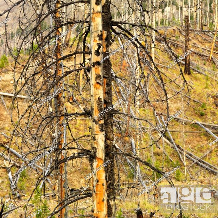 Stock Photo: New growth in forest that was previously destroyed by fire.