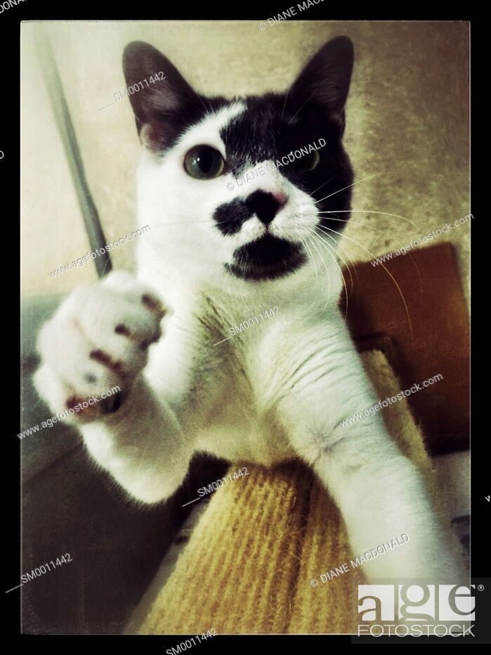 Imagen: Black and white cat reaching for the camera.