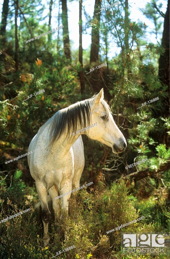 Stock Photo: Arabian horse - standing.
