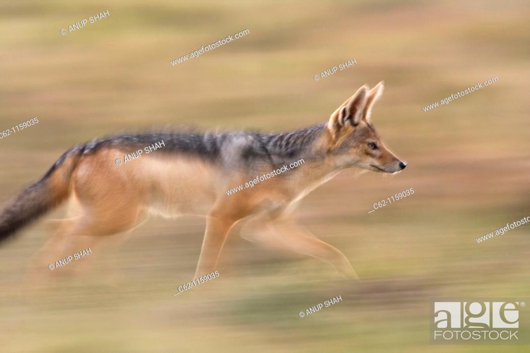 Stock Photo: Black backed jackal (Canis mesomelas) running -panned effect-, Maasai Mara National Reserve, Kenya.