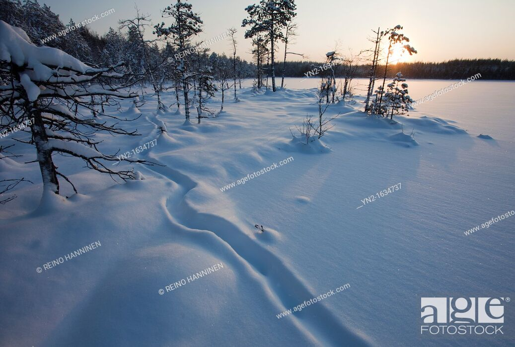 Stock Photo: European Otter, lutra lutra, trail on snow on frozen lake ice at midwinter  Location Mustalampi Suonenjoki Finland Scandinavia Europe EU.