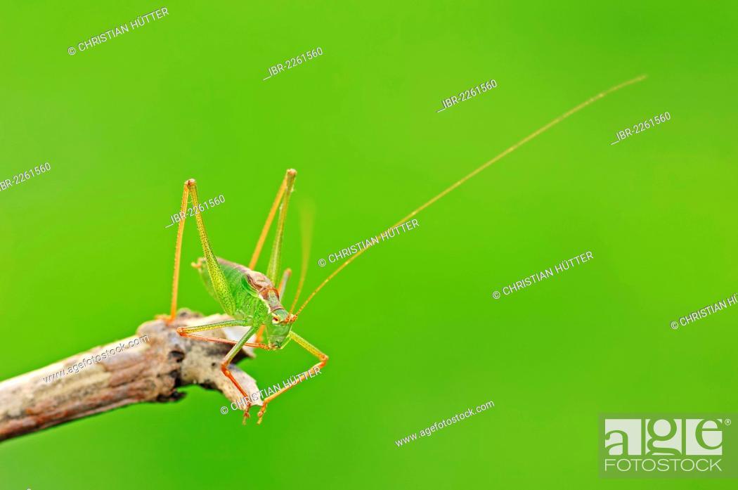 Stock Photo: Speckled bush cricket (Leptophyes punctatissima), male, North Rhine-Westphalia, Germany, Europe.