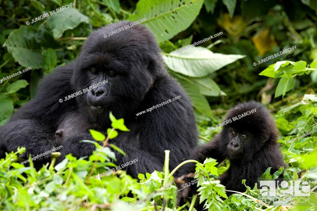 Stock Photo: Mountain Gorilla (Gorilla beringei beringei). Mother and infant sitting in vegetation. Volcanoes National Park, Rwanda.