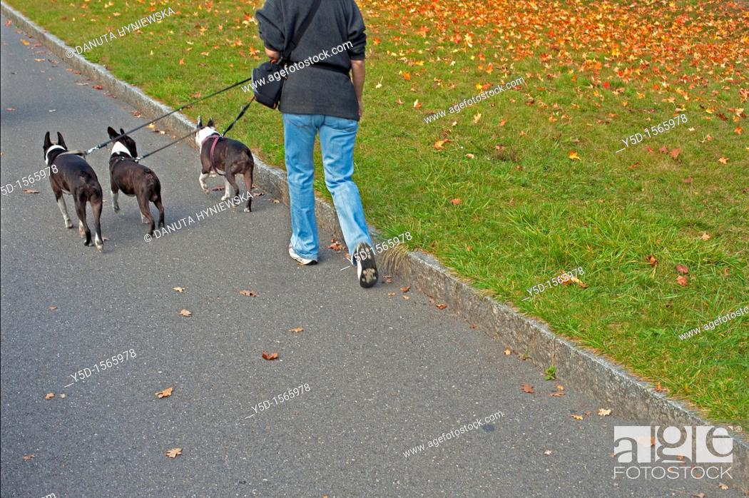 Stock Photo: woman walking out three little buldogs.