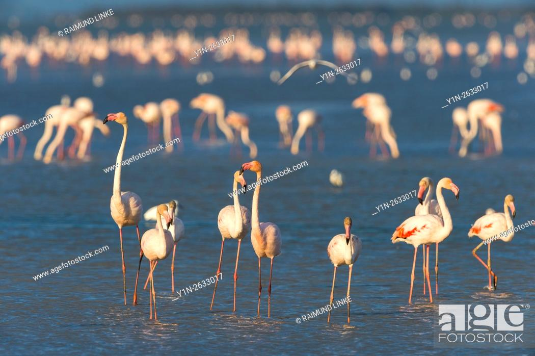 Stock Photo: European Flamingo, Great Flamingo, Phoenicopterus roseus, Saintes-Maries-de-la-Mer, Parc naturel regional de Camargue, Languedoc Roussillon, France.