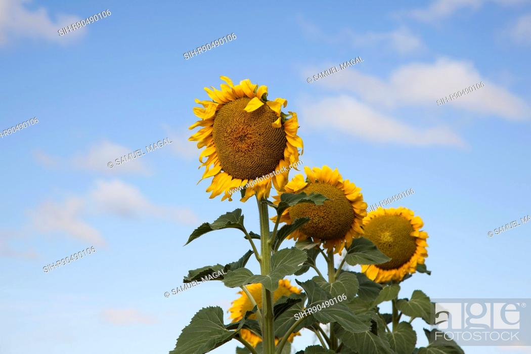 Stock Photo: Spain, View, Helianthus Flower.