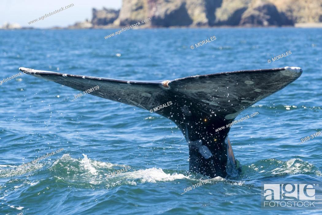 Stock Photo: Central America, Mexico, Baja California Sur, Puerto San Carlos, Magdalena Bay (Madelaine Bay), Gray Whale (Eschrichtius robustus).