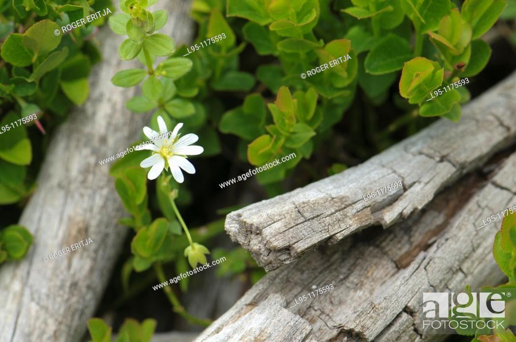 Stock Photo: White mountain wildflower between shrubs, Pyrenees, Spain.