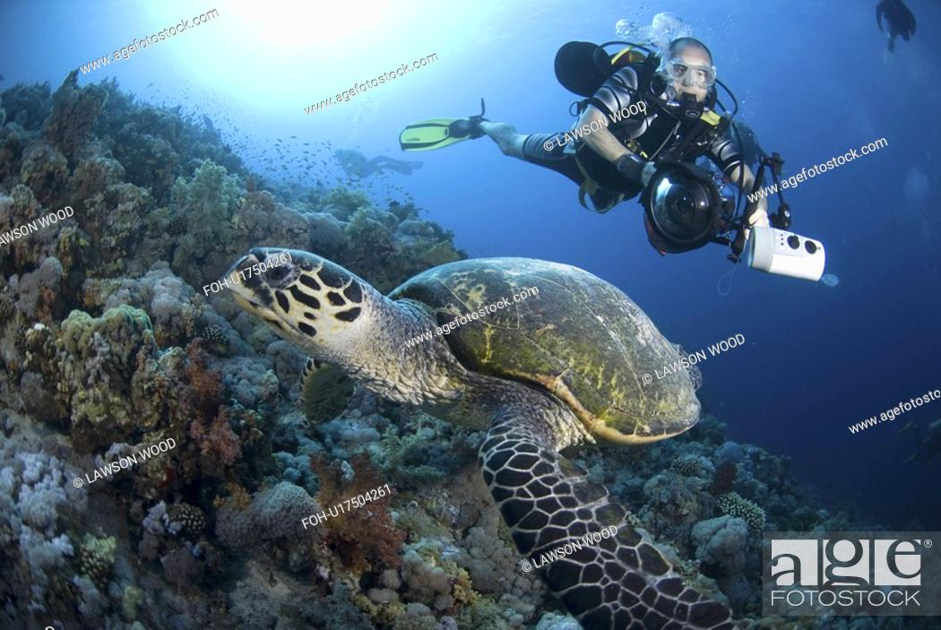 Stock Photo: Underwater Photographer and Hawksbill turtle on Red Sea coral reef, Red Sea.