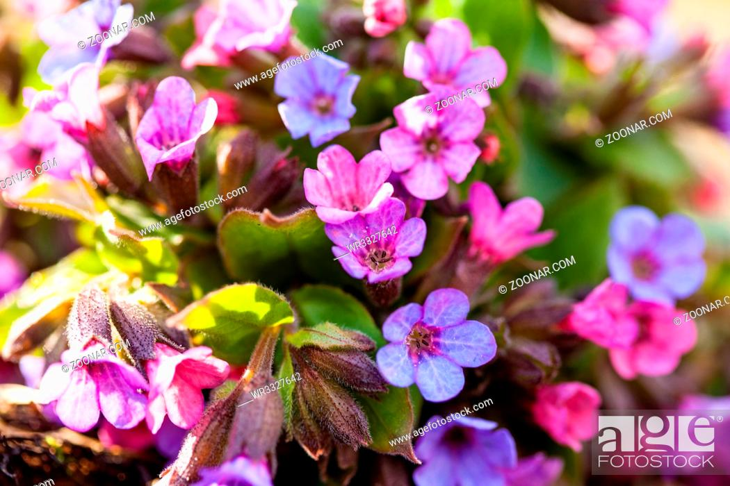 Stock Photo: The evergreen perennial plant of the genus Pulmonaria - bouquet on the wood trunk. Spring season lungwort, common Mary's tears or Our Lady's milk drops.