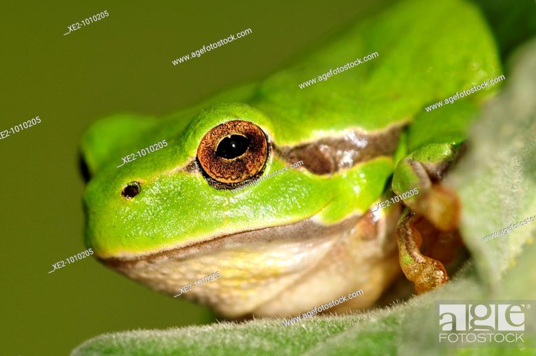 Imagen: Common Treefrog Hyla arborea kretensis is quite common on Crete.