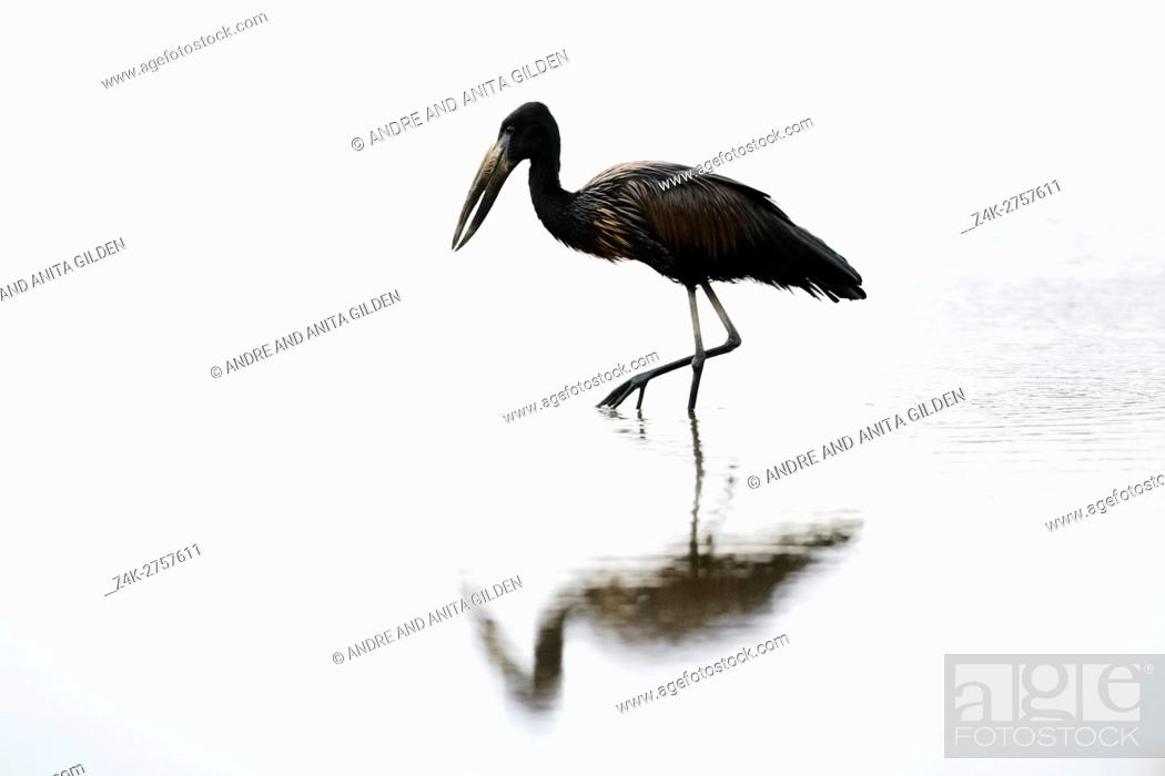 Stock Photo: African Open-billed Stork (Anastomus lamelligerus) wading in water at dusk, Kruger national park, South-Africa.