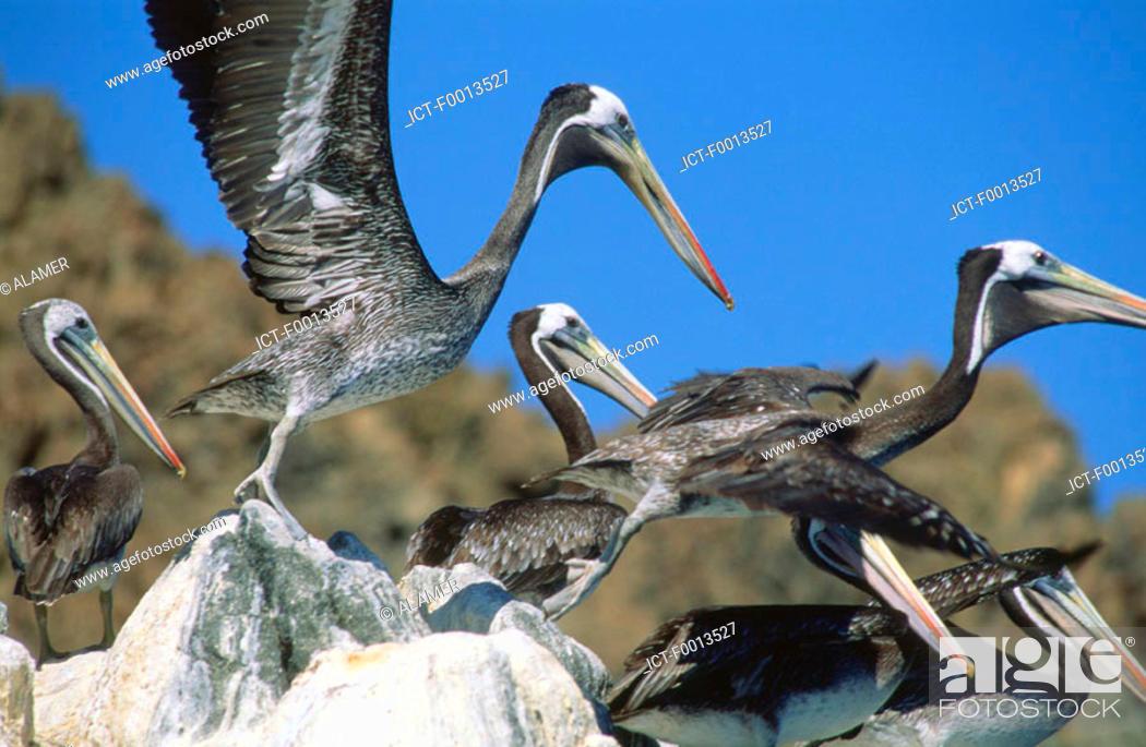 Stock Photo: Chile, Pan de Azucar national park, pelican flight.
