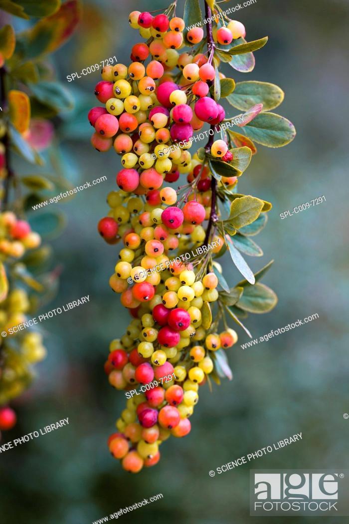 Stock Photo: Barberry Berberis sp. berries in Autumn.
