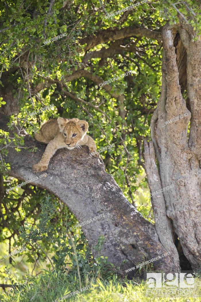 Stock Photo: African Lion (Panthera leo) cub, Maasai Mara National Reserve, Kenya, Africa.