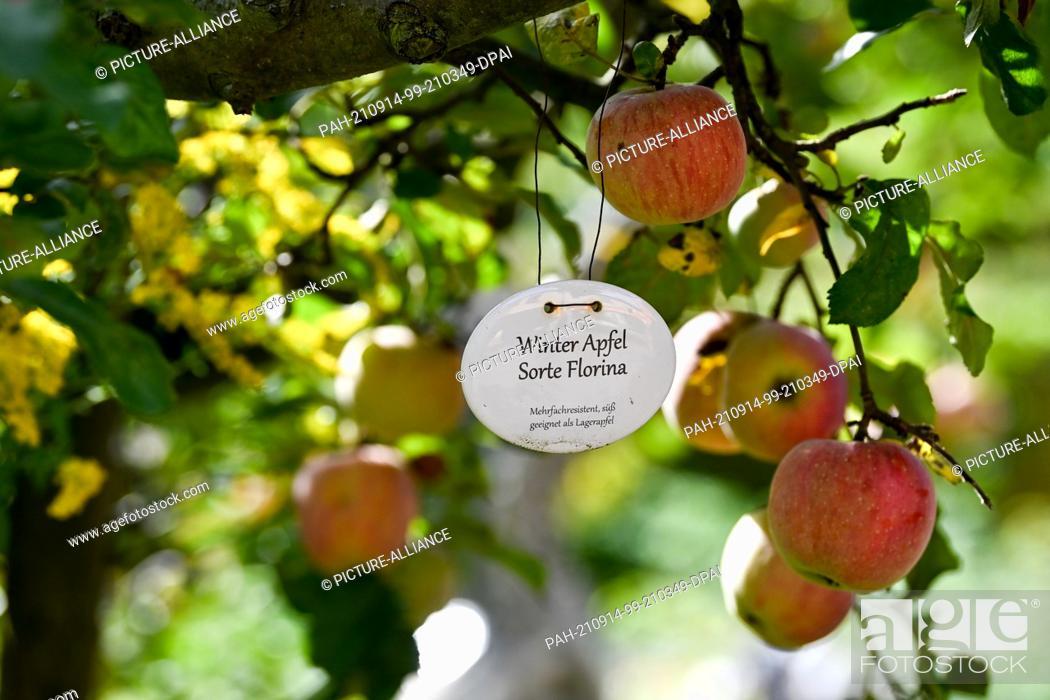 "Stock Photo: 13 September 2021, Brandenburg, Werder (Havel): A winter apple tree of the variety """"Florina"""" in the sea buckthorn garden Petzow."