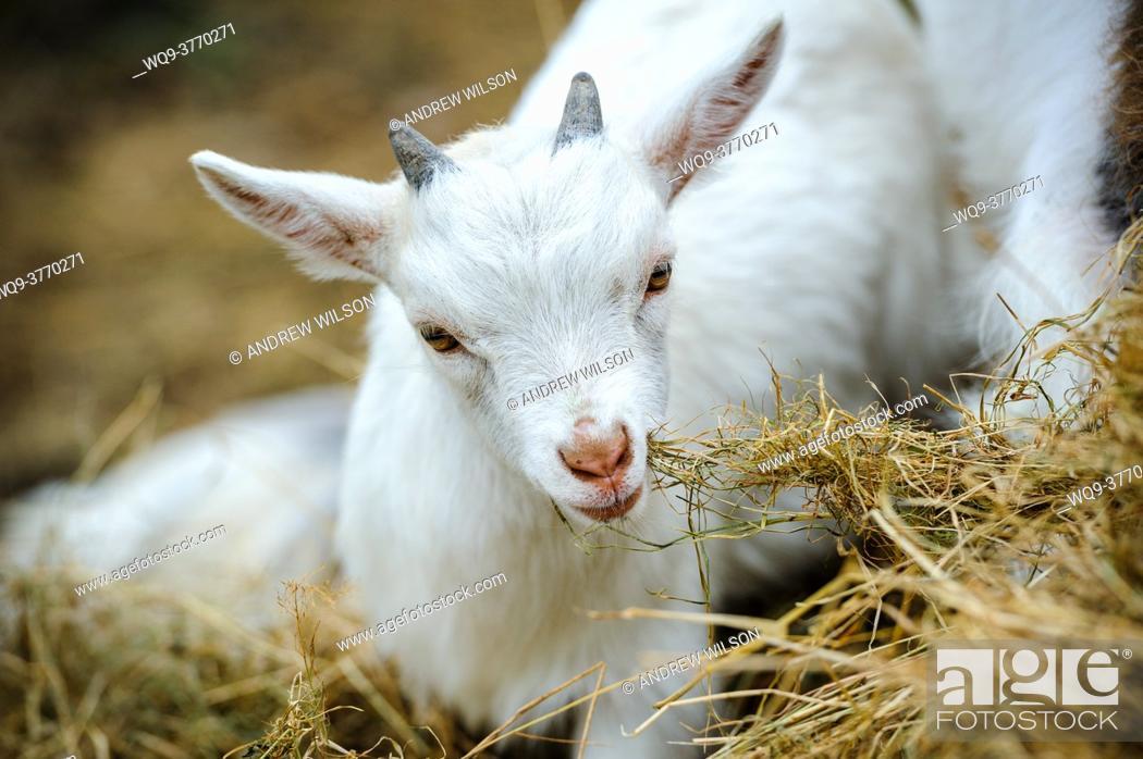 Stock Photo: Pygmy Goat kid tasting hay.